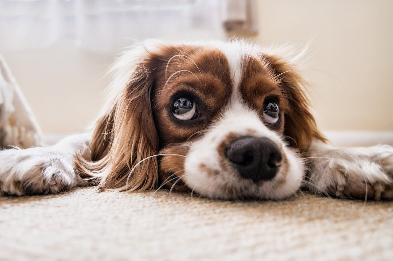 dog lying on the floor looking up